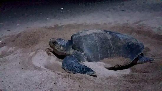 -Los huevos son resguardados en nidos colectivos; en 45 días comenzarán a nacer y ser liberadas las primeras tortuguitas